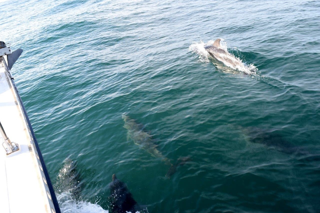 dolphins alongside the boat